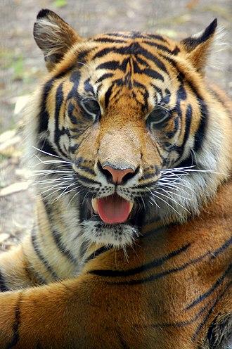 Cameron Park Zoo - Image: Sumatran Tiger Cameron Park Zoo
