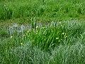 Sumpfschwertlilien Kleinsee.jpg