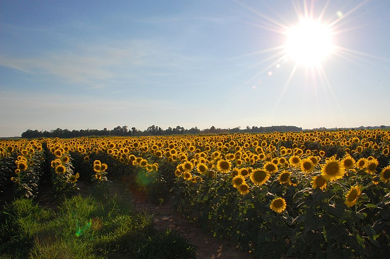 File:SunflowerSunset2.jpg