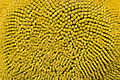Sunflower head (Helianthus annuus) Hungary Felsotold.jpg