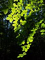 Sunlight on beech leaves in Gullmarsskogen ravine 2.jpg