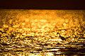 Sunset behind a little egret (8738815960).jpg