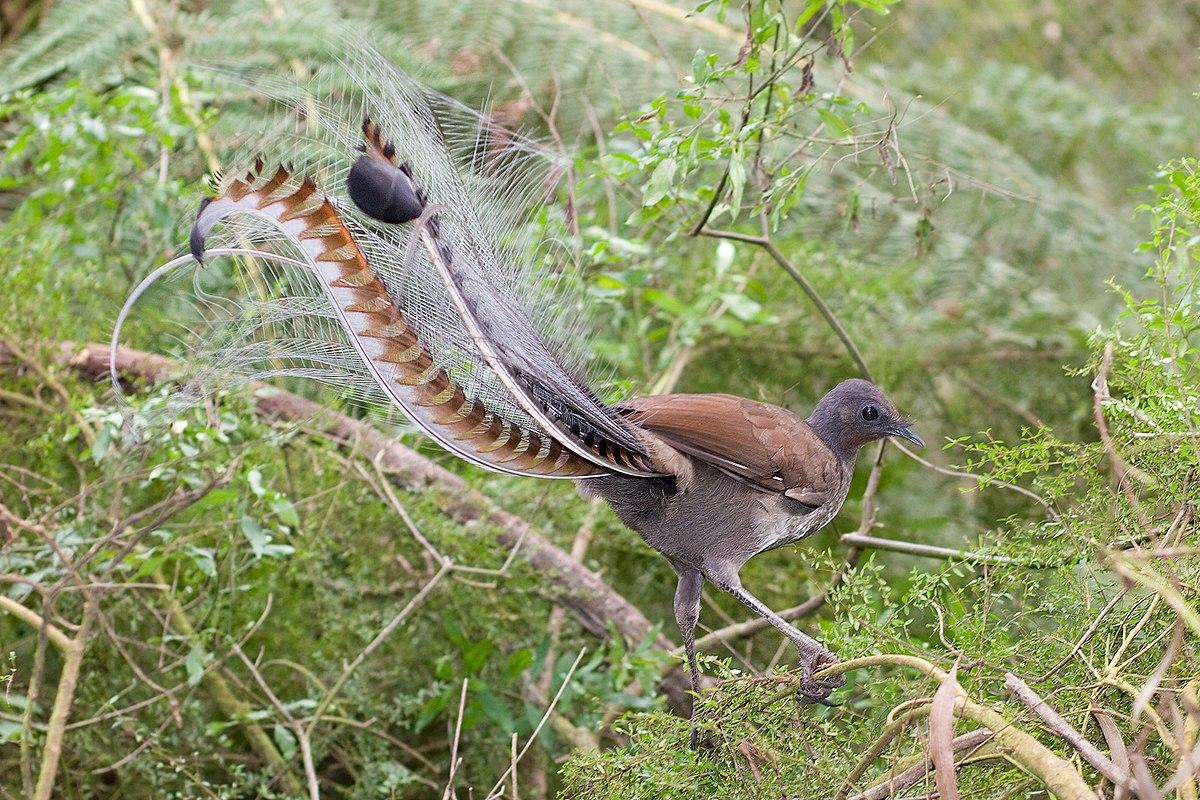 Oiseau lyre wiktionnaire for Oiseau commun