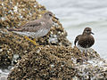 Surfbird and Black Turnstone RWD3.jpg