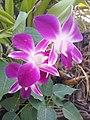 Suvarnabhumi Orchids Farm IMG 20160322 075945 (27170413050).jpg