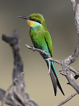 Swallow-tailed bee-eater, Merops hirundineus, at Kgalagadi Transfrontier Park, Northern Cape, South Africa (33691949934).jpg