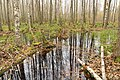 Swamp water in the forest.jpg