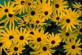 Sweet black eyed Susan bright yellow blossoms with dark brown ceters flowers rudbeckia subtomentosa.jpg