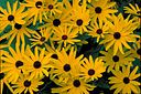Sweet black eyed Susan bright yellow blossoms with dark brown ceters flowers rudbeckia subtomentosa