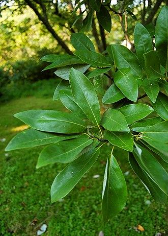 Magnolia virginiana - Image: Sweetbay Magnolia Magnolia virginiana Leaves 2000px