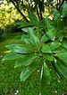 Sweetbay Magnolia Magnolia virginiana Leaves 2000px.jpg