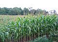 Sweetcorn field by Chapel Wood - geograph.org.uk - 244183.jpg
