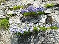 Switzerland - Grasklokje (Campanula rotundifolia) L.jpg