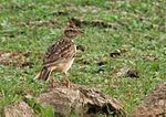 Sykes's Lark (Galerida deva) carrying feed W IMG 0782.jpg