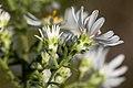 Symphyotrichum ericoides - Flickr - aspidoscelis (3).jpg