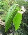 Syzygium hemisphericum 06.jpg
