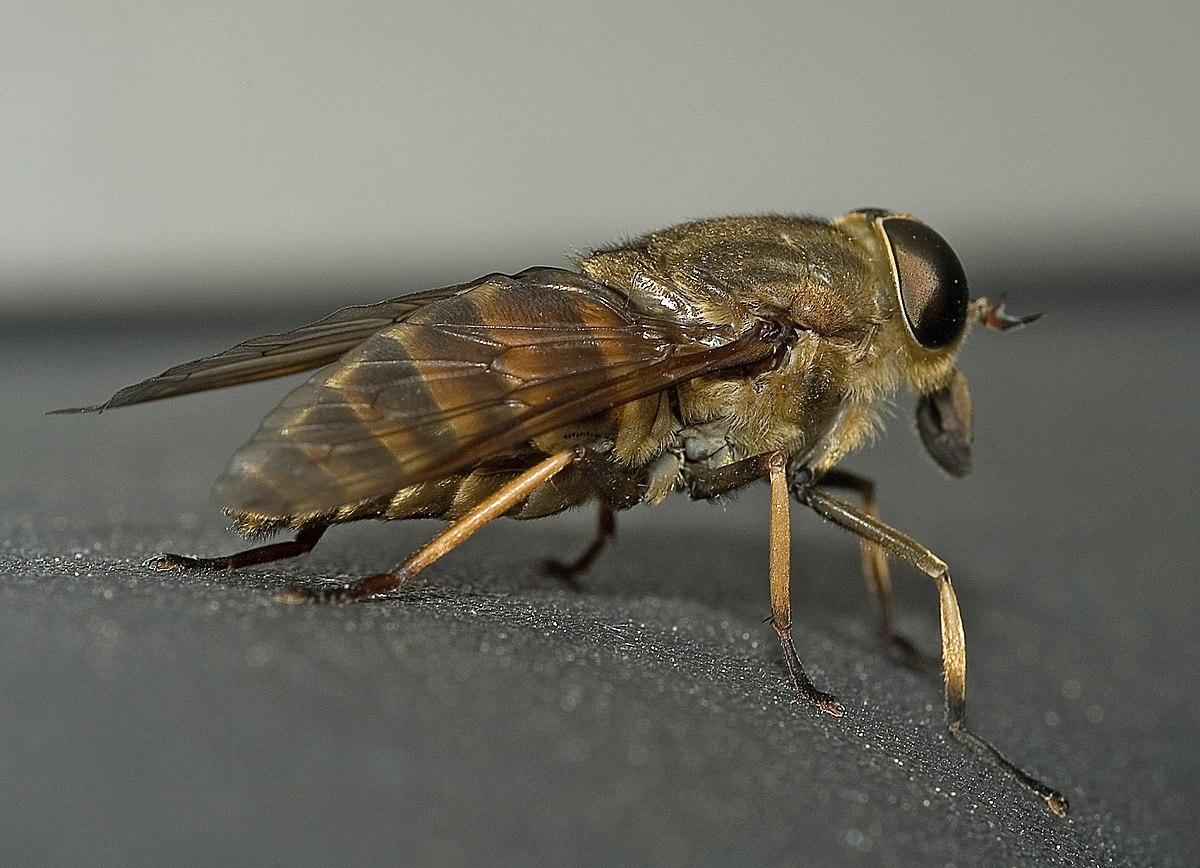 szúnyogok parazitái vagy ragadozók az éhség és a rossz lehelet állandó érzése