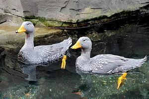 Fuegian steamer duck - Image: Tachyeres pteneres Hamburg zoo 24.10.2012