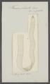 Taenia plicata - - Print - Iconographia Zoologica - Special Collections University of Amsterdam - UBAINV0274 105 19 0024.tif
