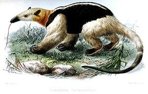 Tamandua - Tamandua tetradactyla