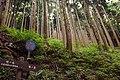 Tanzawa's Sugi forest (49442625172).jpg
