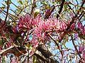 Tapinanthus rubromarginatus, blomme, a, Waterberg.jpg