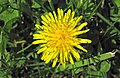 Taraxacum officinale (common dandelion) (Newark, Ohio, USA) 1 (16716367824).jpg