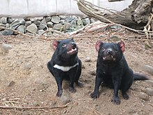 Two devils, sitting side by side, the one of left with a white stripe under its neck. They stand on a dirt patch. Stones can be seen in the background.