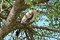 Tawny Eagle (Aquila rapax) juvenile (16714444572).jpg