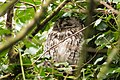 Tawny Owl (33171719172).jpg