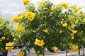 Tecoma Stans (Yellow Elder) (28863470556).jpg