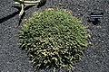 Teguise Guatiza - Jardin - Euphorbia ornithopus 02 ies.jpg