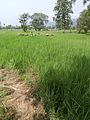 Temri-rice-field.jpg