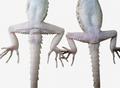 Tenuidactylus caspius sexual dimorphism.png