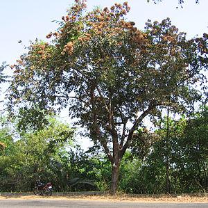 Terminalia paniculata - Image: Terminalia paniculata tree