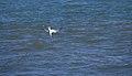 Tern diving (40309).jpg