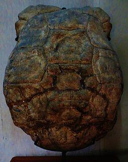 <i>Aldabrachelys grandidieri</i> species of reptile