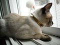 Thai cat (3).jpg