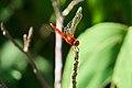 Thailand Riku Show Zhou Dragonfly (28000054261).jpg