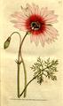 The Botanical Magazine, Plate 73 (Volume 3, 1790).png