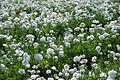 The Flower Fields at Carlsbad Ranch 88 2014-04-28.jpg