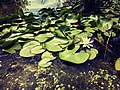 The Green Lily Pads 01.jpg