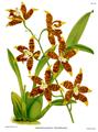 The Orchid Album-02-0033-0058-Odontoglossum triumphans.png