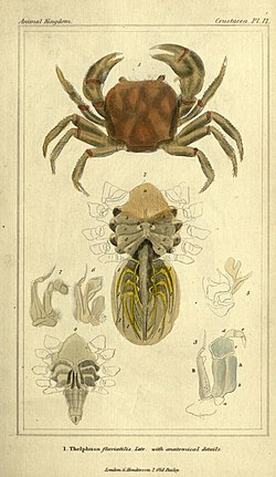 The animal kingdom, arranged according to its organization, serving as a foundation for the natural history of animals (Crustacea. Pl. 12) BHL2459226.jpg