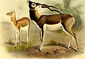 The book of antelopes (1894) (14802207953).jpg