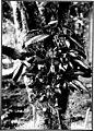 The indigenous trees of the Hawaiian Islands (1913) (20726069595).jpg