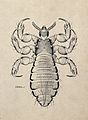 The male body louse (Pediculus humanus humanus). Pen and ink Wellcome V0022602EL.jpg