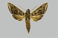 Theretra griseomarginata, male, upperside. India, Uttar Pradesh, Bhimtal, Naini Tal.jpg