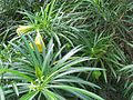 Thevetia peruviana (7189121629).jpg