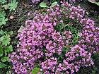 Thymus-serpyllum.jpg